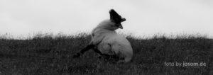 Das Schaf